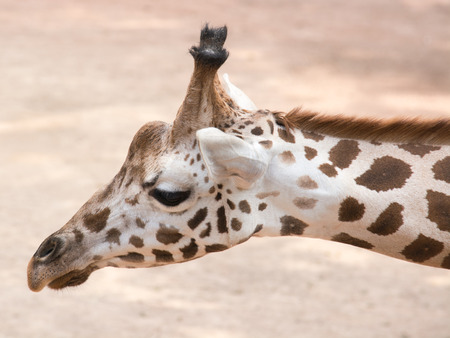 The giraffe  Giraffa camelopardalis  is an African even-toed ungulate mammal, the tallest living terrestrial animal and the largest ruminant  photo