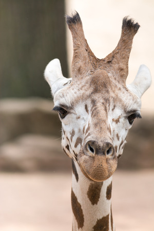 ungulate: The giraffe  Giraffa camelopardalis  is an African even-toed ungulate mammal, the tallest living terrestrial animal and the largest ruminant