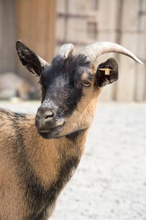 wild goat: La cabra dom�stica Capra aegagrus hircus es una subespecie de cabra domesticados de la cabra salvaje del suroeste de Asia y Europa del Este Foto de archivo