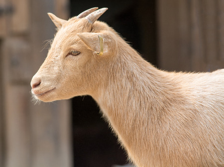 bleating: The domestic goat  Capra aegagrus hircus  is a subspecies of goat domesticated from the wild goat of southwest Asia and Eastern Europe