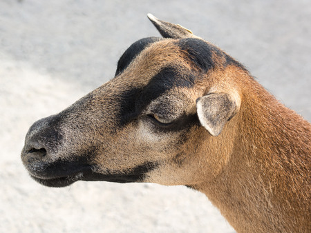 The domestic goat  Capra aegagrus hircus  is a subspecies of goat domesticated from the wild goat of southwest Asia and Eastern Europe