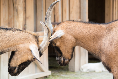 The domestic goat  Capra aegagrus hircus  is a subspecies of goat domesticated from the wild goat of southwest Asia and Eastern Europe  photo