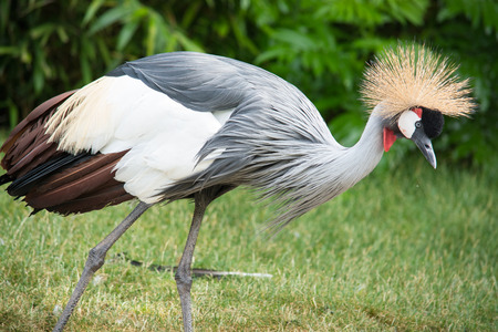 Grey Crowned Crane can be found in Uganda and Kenya and South Africa photo