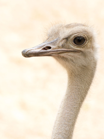 The flightless ostrich is the world photo