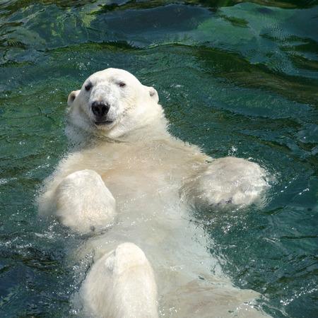 シロクマ ホッキョクグマは、そのネイティブの範囲は北極の内で主にある肉食性クマです。 写真素材
