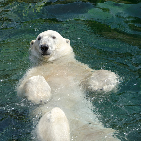 The polar bear  Ursus maritimus  is a carnivorous bear whose native range lies largely within the Arctic Circle Imagens - 27913355
