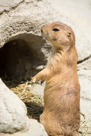 burrow: Prairie dogs  genus Cynomys  are burrowing rodents native to the grasslands of North America  Stock Photo