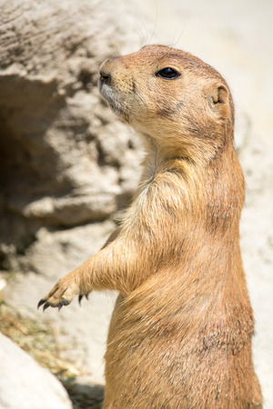 burrowing: Prairie dogs  genus Cynomys  are burrowing rodents native to the grasslands of North America  Stock Photo