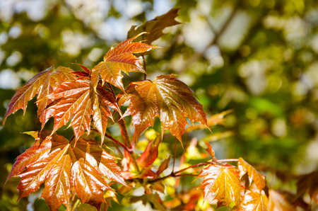 Young spring maple leaves illuminated by sunlight photo