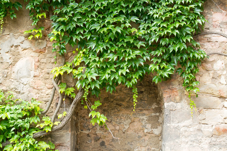 Green ivy on a stone wall, Hannover, Germany Stock Photo
