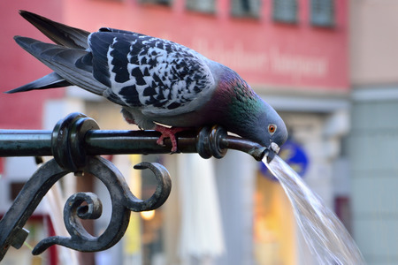 liquid summer: Pigeon drinking water on a hot summer day