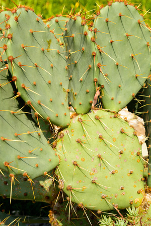 balchik: Close up of a green Opuntia Cactus. Botanical cactus garden of Balchik, Bulgaria