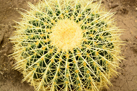 Cactus closeup, Echinocactus grusonii succulente photo