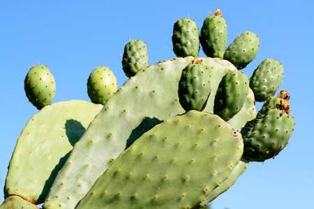 balchik: Green flat rounded cladodes of opuntia cactus. Botanical cactus garden of Balchik, Bulgaria