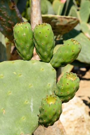 Green flat rounded cladodes of opuntia cactus. Botanical cactus garden of Balchik, Bulgaria photo