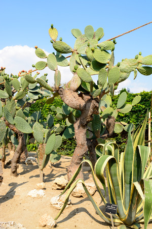 Botanical cactus garden of Balchik, Bulgaria photo