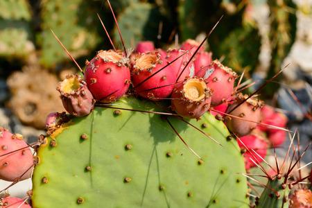 Cactus Opuntia with red ripe fruits. Botanical cactus garden of Balchik, Bulgaria photo