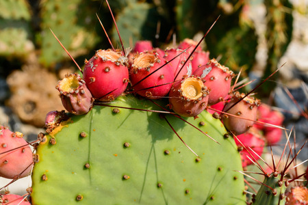 Cactus Opuntia with red ripe fruits. Botanical cactus garden of Balchik, Bulgaria