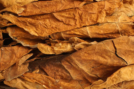 Dried tobacco leaves as background, close-up