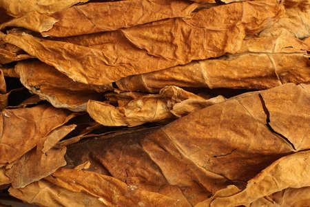 Feuilles de tabac séchées comme toile de fond, gros plan