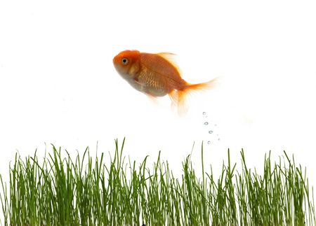 An image of fresh grass an goldfish photo