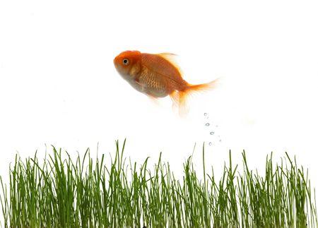 An image of fresh grass an goldfish photo