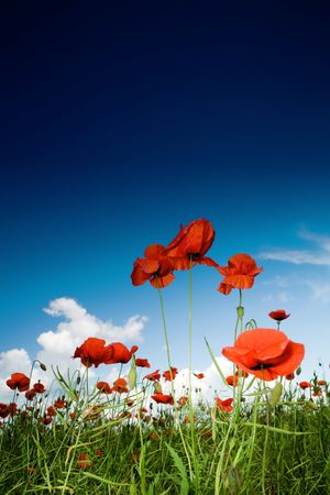 Green field with red poppies under dark-blue sky Stock Photo - 3216671