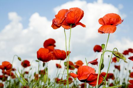 amongst: Red poppies amongst green plant