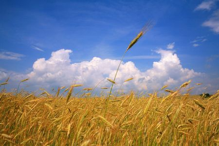 Field with golden rye under blue sky with clouds