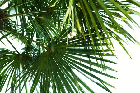 backlighting: An image of Palm Leaf section with backlighting Stock Photo