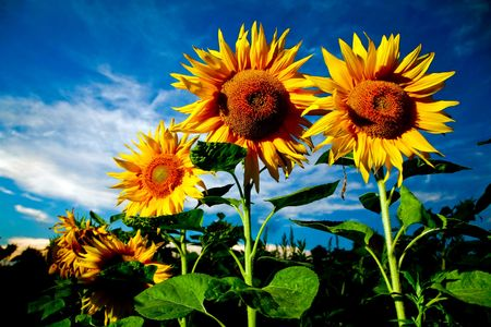 Bright yellow sunflowers on a background of the sky photo