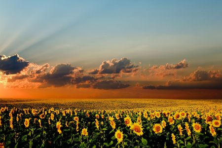 A field of sunflowers, in the south of Ukraine photo