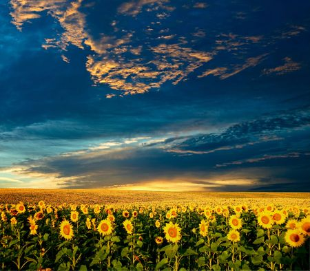 A field of sunflowers under sky with clouds Stock Photo - 3422505