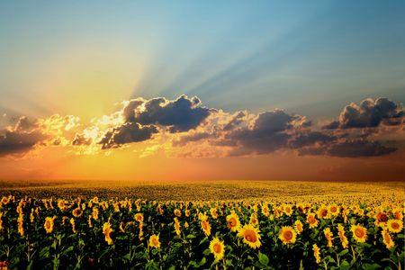 girasol: Un campo de girasoles, en el sur de Ucrania
