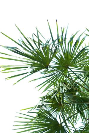 A photo of a beautiful palm leaves on white background Stock Photo - 3437952