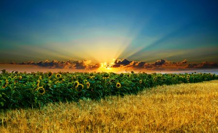 Sunflowers on a background of magic sky photo