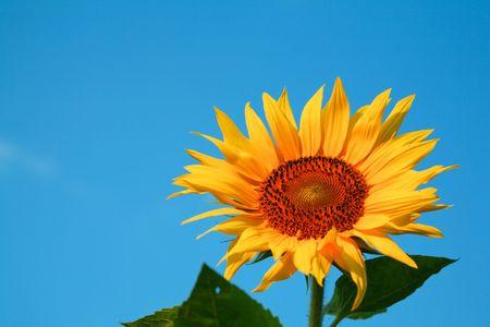 Una imagen de color amarillo girasol sobre fondo azul Foto de archivo - 3499333