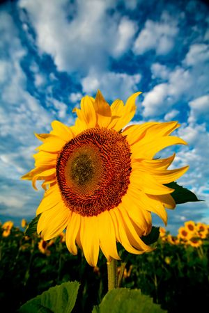 An image of sunflower on background of blue sky with white clouds photo