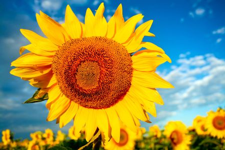 An image of yellow flower on background of blue sky photo