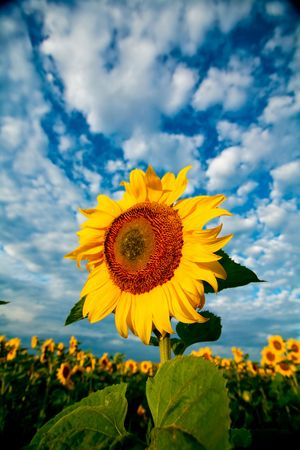 An image of yellow sunflower on dramatic background photo