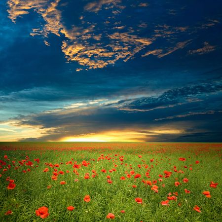 red poppies on green field: Green field with red poppies under dramatic cloud