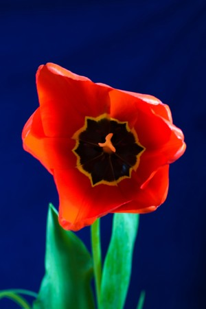 stock photo   tulip: Stock photo: an image of a big red tulip Stock Photo