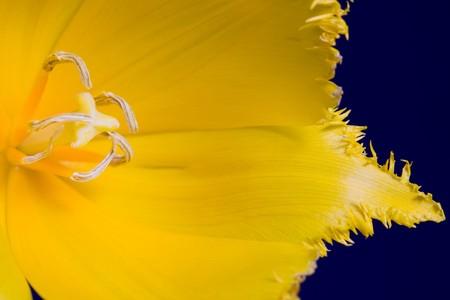 stock photo   tulip: Stock photo: an image of a nice yellow tulip closeup