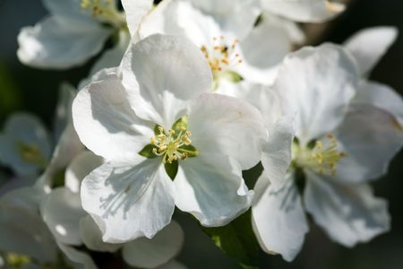Beautiful white apple blossoms on the green background Stock Photo - 4975351