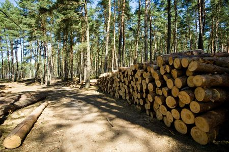 recently: Recently cut down and piled pine logs at the edge of the forest