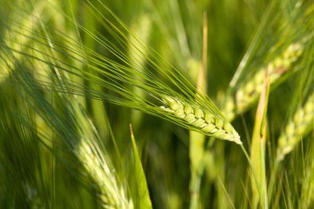 Une image du grain vert de l'avoine Banque d'images - 5112677