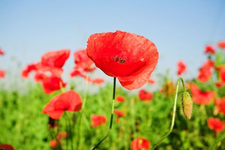 An image of beautiful red poppies in the field Фото со стока