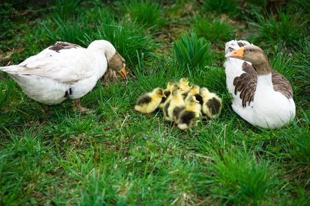 brood: A brood of little goslings on green  grass
