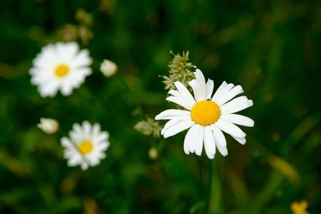 officinal: An image of little white camomiles on green background