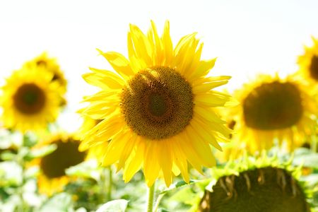 An image of beautiful big yellow sunflowers photo
